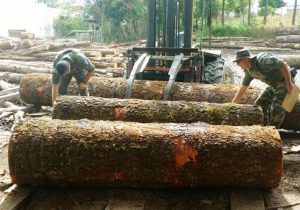 Toras e madeiras serradas de Pinheiro foram apreendidas em Palmeira