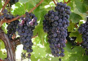 Produtores de uva do município podem participar de palestras com foco no cultivo da videira