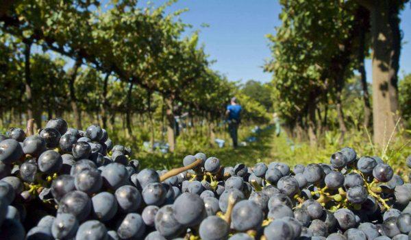 Produtores vão definir estratégias de comercialização da uva