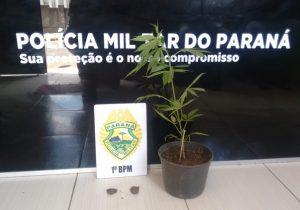 Após denúncia, PM localiza planta de maconha no Rocio II