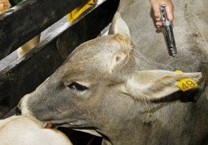 Campanha de vacinação contra aftosa deve ser a penúltima no país