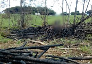 Corte de pinheiros em área de preservação permanente termina com multa de R$ 30 mil