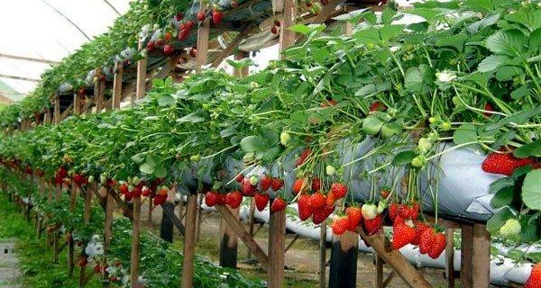 Secretaria de Agricultura em parceria com Sindicato dos Trabalhadores Rurais oferta mudas de morango para venda