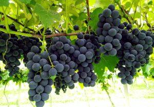 Vinícola Wendler comercializará uvas e derivados neste sábado em Palmeira