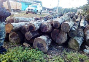 Polícia Ambiental atende denúncia de corte irregular de árvores ameaçadas de extinção