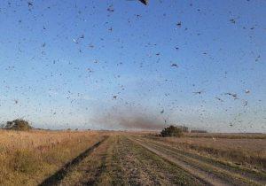 Ministério da Agricultura diz que não há indicação de nuvem de gafanhoto vir para o Brasil