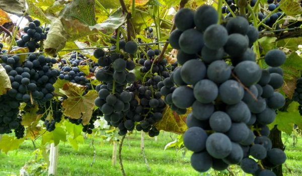 Secretaria de Agricultura entrega mais de três mil mudas de uva à viticultores de Palmeira